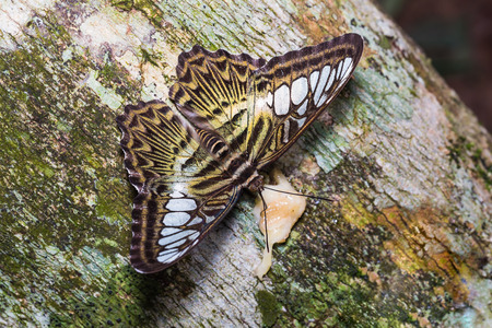 clipper: Close up of Clipper Parthenos sylvia butterfly feeding on tree trunk in nature, dorsal view