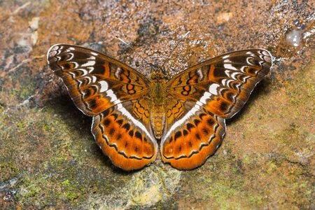 martha: Close up of the Knight Lebadea martha butterfly puddling on the rock in nature, dorsal view