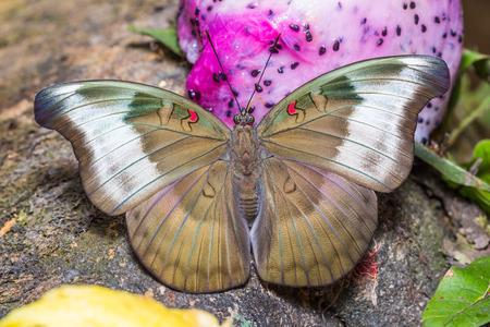 duke: Close up of female Redspot Duke Euthalia evelina butterfly feeding on ripe fruit, dorsal view