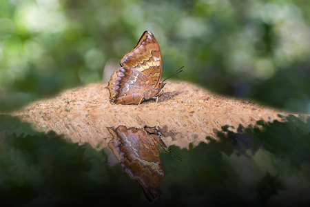 rajah: Close up of Tawny Rajah Charaxes bernardus butterfly puddling on the ground with water reflection in nature Stock Photo