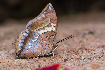 rajah: Close up of Tawny Rajah Charaxes bernardus butterfly puddling on the ground in nature Stock Photo