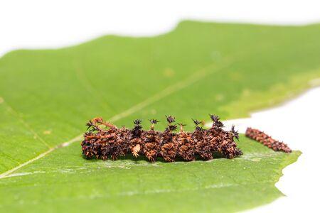 commander: Close up of Commander Moduza procris caterpillars on their host plant leaf Stock Photo