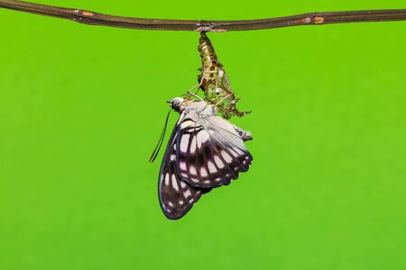 emerging: Close up of newly emerging Blackvein Sergeant Athyma ranga butterfly