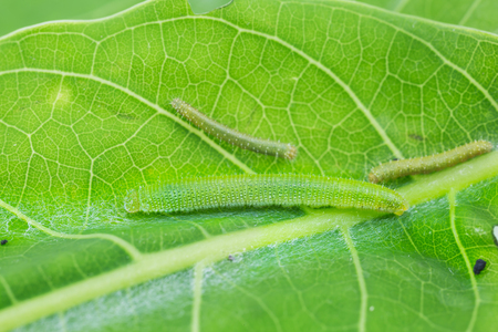 tip up: Close up of young Great Orange Tip Hebomoia glaucippe caterpillars on their host plant leaf