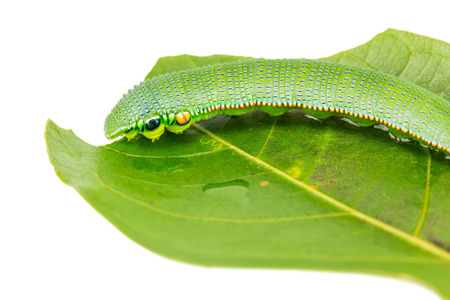 tip up: Close up of mature Great Orange Tip Hebomoia glaucippe caterpillar on their host plant leaf, on white background
