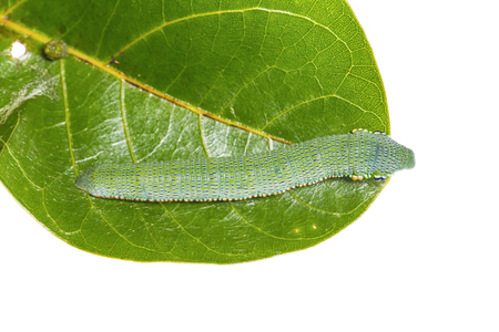tip up: Close up of mature Great Orange Tip Hebomoia glaucippe caterpillar on their host plant leaf, dorsal view, on white background Stock Photo