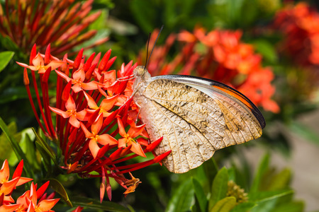 tip up: Close up of Great Orange Tip Hebomoia glaucippe butterfly perching on red ixora flower Stock Photo