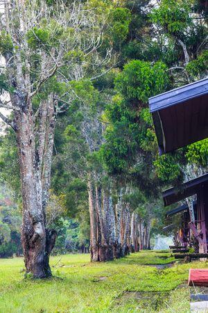 hospedaje: Camino de senderismo y pinos en una fila frente a las casas de alojamiento en Parque Phu Kradueng Nacional, la provincia de Loei, Tailandia