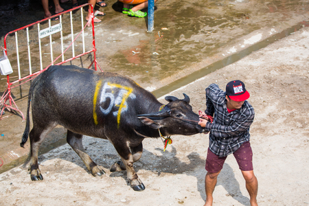 racing festival: CHONBURI, THAILAND - 26 OCTOBER 2015 - Unidentified participant take his buffalo to the starting stalls in the 144th Chonburi Buffalo Racing Festival on October 26, 2015 in Chonburi province, Thailand.