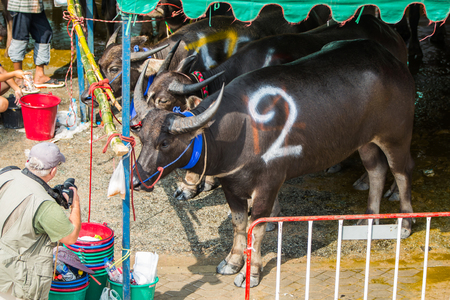 racing festival: CHONBURI, THAILAND - 26 OCTOBER 2015 - Buffalo take a rest in the tent before racing in the 144th Chonburi Buffalo Racing Festival on October 26, 2015 in Chonburi province, Thailand.
