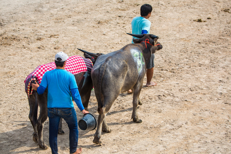 racing festival: CHONBURI, THAILAND - 26 OCTOBER 2015 - Unidentified participants take their buffalo to the starting stalls in the 144th Chonburi Buffalo Racing Festival on October 26, 2015 in Chonburi province, Thailand.