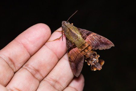 sphingidae: Close up of Macroglossum possibly Macroglossum heliophila or Macroglossum sitiene hawk moth on human hand