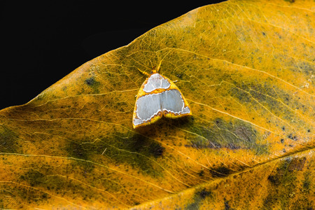 stomach bug: Close up of Nolid Moth Titulcia confictella on dried leaf, flash fired Stock Photo