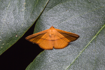 possibly: Close up of orange moth possibly Sonagara strigipennis on green leaf in nature, flash fired Stock Photo
