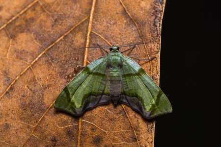 inchworm: Close up of Inchworm green wing moth Achrosis incitata on dried leaf in nature, flash fired