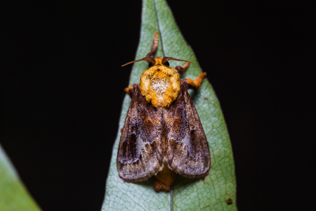 possibly: Close up of Miresa moth possibly Miresa fulgida on green leaf in nature, flash fired