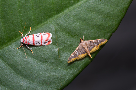 coffee berry: Close up of Lichen moth Cyana catorhoda and Coffee Berry moth Prophantis adusta on green leaf in nature, flash fired