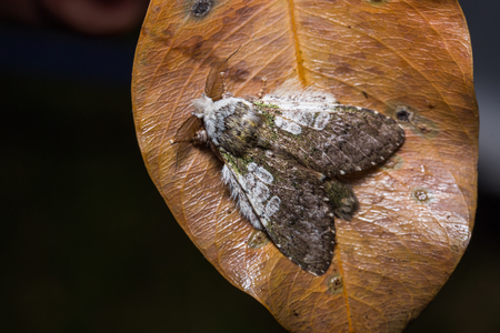 stomach bug: Close up of Prominent moth Syntypistis comatus on dried leaf in nature, flash fired