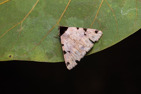 stomach bug: Close up of unidentified moth on green leaf in nature, flash fired