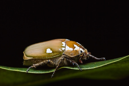 june: Close up of White Man-faced June beetle Melolontha maculata on green leaf in nature, side view, flash fired Stock Photo