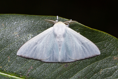 stomach bug: Close up of unidentified white moth on green leaf in nature, flash fired
