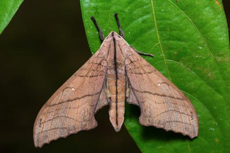 possibly: Close up of Marumba hawk moth possibly Marumba cristata or Marumba saishiuana on green leaf in nature, flash fired