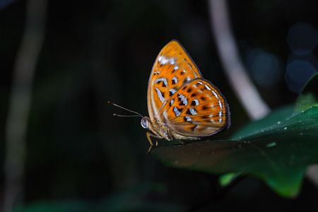 larger: Close up of Orange Harlequin or Larger Harlequin Taxila haquinus butterfly in nature