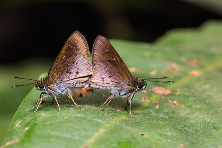 possibly: Close up of skipper Hesperiidae, possibly lsma protoclea butterflies mating in nature, flash fired