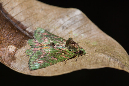 stomach bug: Close up of unidentified moth on dried leaf in nature, flash fired