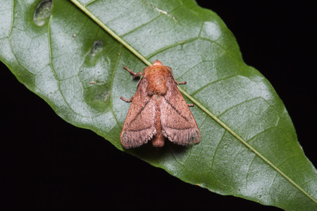 Close up of brown moth possibly Euthrix improvisa on green leaf in nature, flash fired Stock Photo