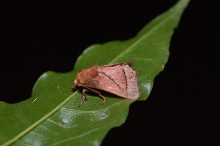 Close up of brown moth possibly Euthrix improvisa on green leaf in nature,side view, flash fired