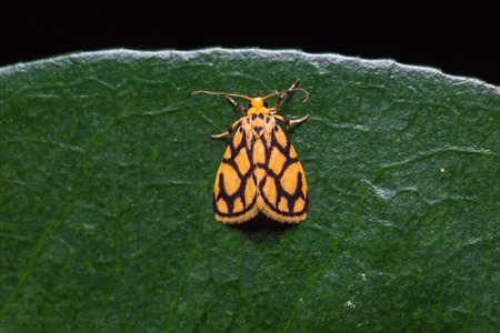 stomach bug: Close up of Lyclene conjunctana moth on green leaf in nature, flash fired