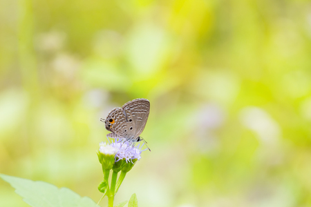 stomach bug: Close up of Plain Cupid Chilades pandava butterfly feeding on flower in nature Stock Photo
