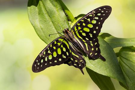 green jay: Cierre de mariposa atada de Jay Graphium Agamen�n en la naturaleza, vista dorsal