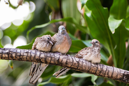 roosting: Close up of zebra dove Geopelia striata or barred ground dove family roosting on cornstalk plant stem Stock Photo