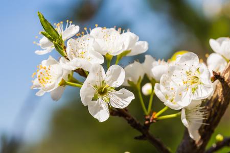 diminutive: Close up of white Wild Himalayan cherry Prunus cerasoides flowers Stock Photo