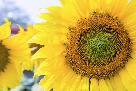 ornamental horticulture: Close up of sunflower Helianthus annuus Stock Photo