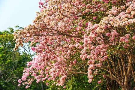 rosea: Blooming Pink Trumpet Tabebuia rosea tree in Thailand