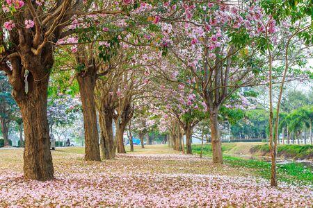 nakhon pathom: Blooming Pink Trumpet Tabebuia rosea tree at Kamphaeng Saen, Nakhon Pathom province, Thailand Stock Photo
