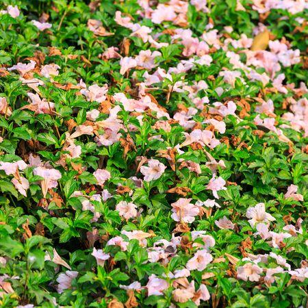 trailing: Fallen Pink Trumpet Tabebuia rosea flower on trailing daisy leaves