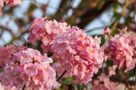 rosea: Close up of Pink Trumpet Tabebuia rosea flower