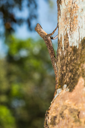 maculatus: Close up of Spotted flying dragon or Orange-winged flying lizard (Draco maculatus) on the tree, flash fired