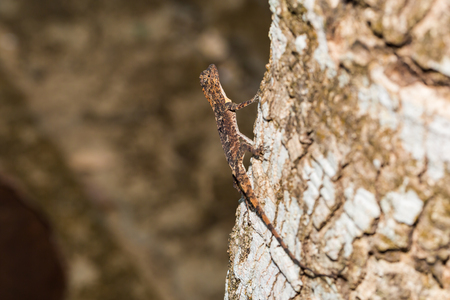 arboreal: Close up of Spotted flying dragon or Orange-winged flying lizard (Draco maculatus) on the tree, flash fired