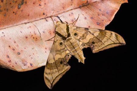 stomach bug: Close up of Ambulyx substrigilis hawk0 moth on dried leaf in nature, flash fired