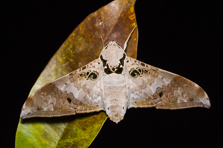 sphingidae: Close up of Ambulyx canescens hawk moth on dried leaf in nature, flash fired