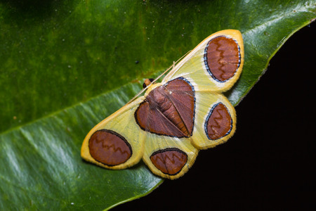 flavescens: Close up of Plutodes flavescens moth on green leaf in nature, flash fired Stock Photo