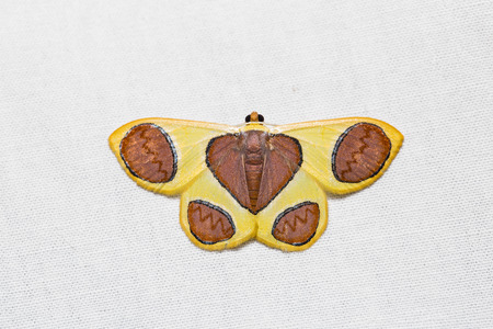 flavescens: Close up of Plutodes flavescens moth on white screen, dorsal view, flash fired Stock Photo