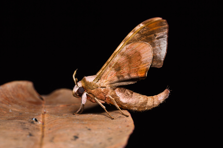 ocellaris: Close up of Durian hawkmoth (Daphnusa ocellaris) on dried leaf in nature, underside wings, flash fired