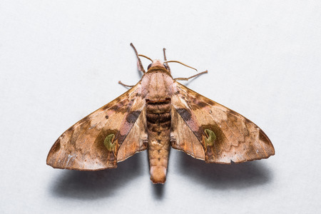 sphingidae: Close up of Durian hawkmoth (Daphnusa ocellaris) on white screen, dorsal view, flash fired
