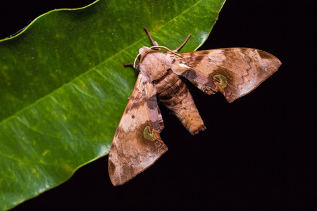 ocellaris: Close up of Durian hawkmoth (Daphnusa ocellaris) on green leaf in nature, dorsal view, flash fired